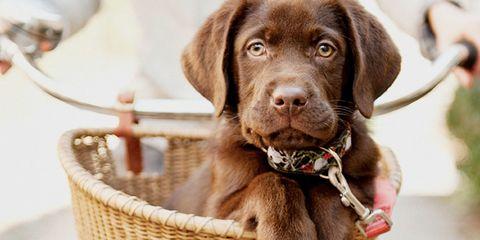 Dog breed, Brown, Skin, Dog, Vertebrate, Carnivore, Mammal, Collar, Basket, Snout,