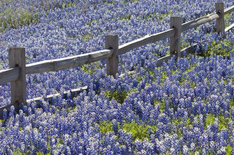 Blue, Plant, Flower, Groundcover, Purple, Majorelle blue, Field, Spring, Lavender, Wildflower,