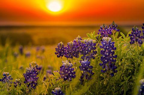 Plant, Sun, Flower, Sunset, Lavender, Wildflower, Sunrise, Lavender, Flowering plant, Purple,
