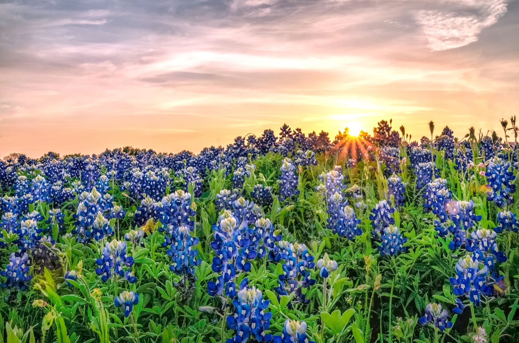 Texas Bluebonnets Bluebonnets Fun Facts And Trivia