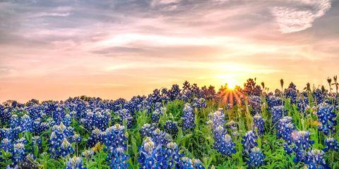 Blue, Natural environment, Plant, Flower, Flowering plant, Wildflower, Majorelle blue, Sunset, Sunrise, Groundcover,
