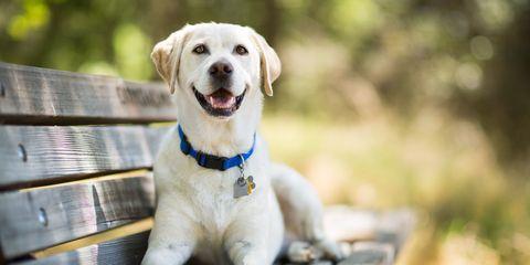 Dog breed, Dog, Carnivore, Collar, Snout, Companion dog, Sporting Group, Labrador retriever, Pet supply, Dog collar,