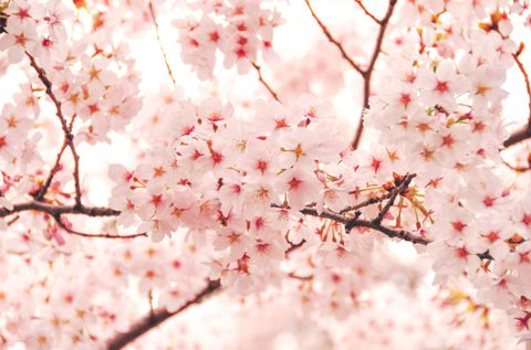 20 cherry blossom tree facts things you didnt know about cherry image mightylinksfo