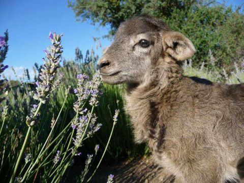 Plant community, Adaptation, Terrestrial animal, Sheep, Camelid, Working animal, Snout, Grass family, Fawn, Lavender,
