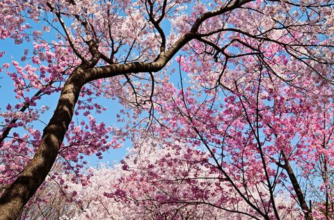 U S Cherry Blossom Trees