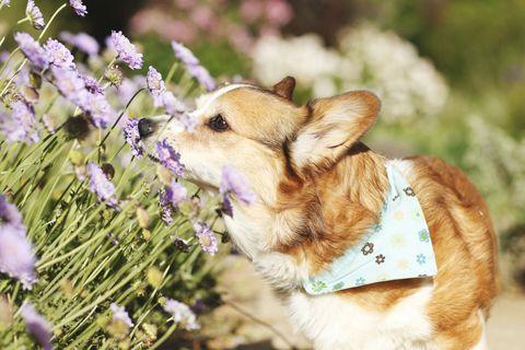 Dog breed, Carnivore, Vertebrate, Dog, Collar, Mammal, Lavender, Snout, Purple, Fawn,