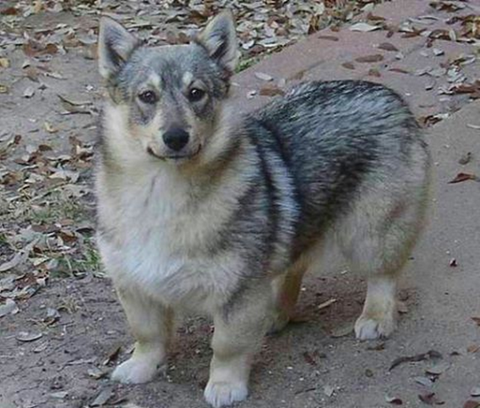 dog mixed with wolf