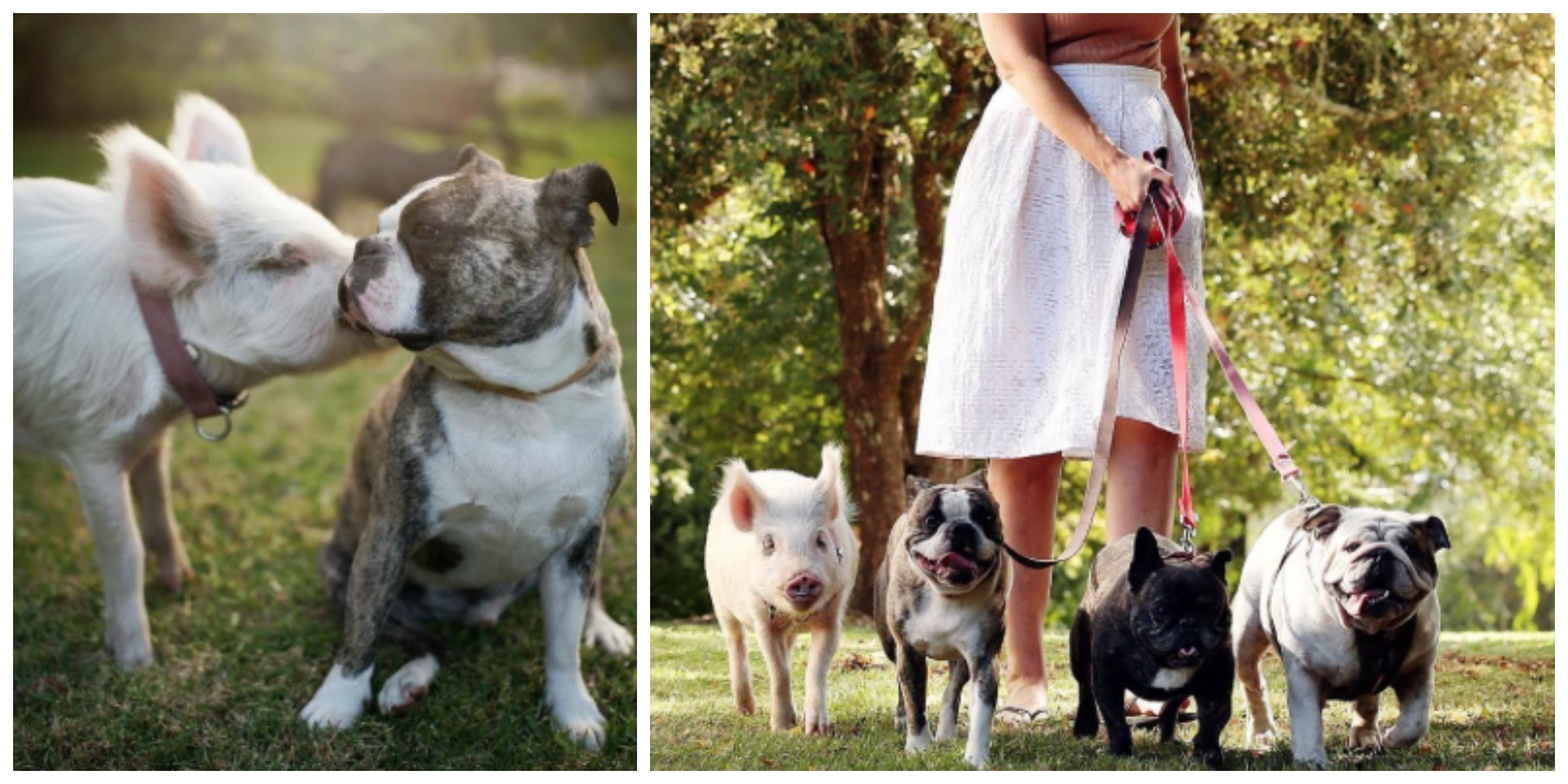 This Pig Spends So Much Time With Her Dog Siblings She Thinks She's One Of Them