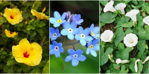 Blue, Petal, Plant, Flower, Flowering plant, Groundcover, Terrestrial plant, Annual plant, Forget-me-not, Wildflower,