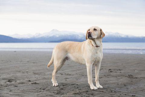 Dog breed, Dog, Carnivore, Vertebrate, Sporting Group, Shore, Companion dog, Retriever, Fawn, Collar,