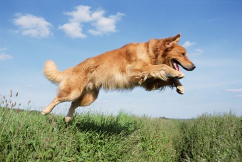 Dog breed, Grass, Carnivore, Dog, Sporting Group, Grassland, Grass family, Tooth, Tongue, Cumulus,