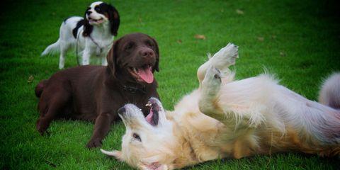 Dog breed, Vertebrate, Dog, Carnivore, Mammal, Sporting Group, Tongue, Tooth, Companion dog, Liver,