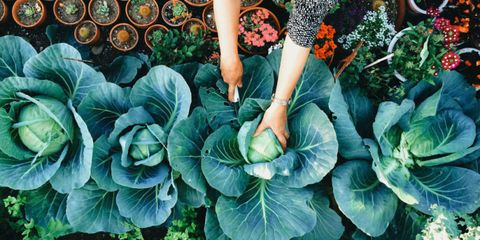 Leaf, Leaf vegetable, Orange, Produce, Annual plant, Whole food, Xanthosoma, Vegetable, Herbaceous plant, wild cabbage,