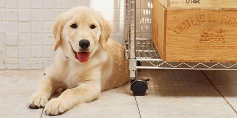 Labrador retriever on kitchen floor