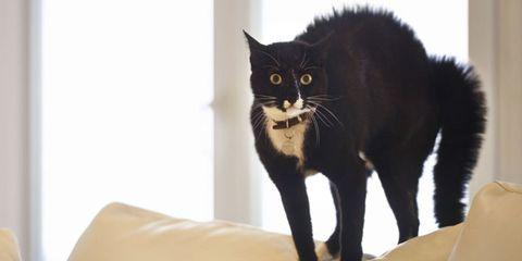 Carnivore, Vertebrate, Organism, Whiskers, Felidae, Cat, Small to medium-sized cats, Terrestrial animal, Snout, Black,