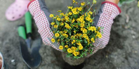 Flower, Petal, Shrub, Flowering plant, Groundcover, Herbaceous plant, Annual plant, Tartan, Daisy family, Forb,