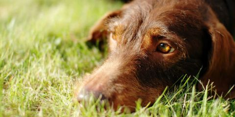 Dog breed, Grass, Brown, Dog, Carnivore, Liver, Grass family, Close-up, Sporting Group, Terrestrial animal,