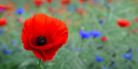 Poppy flower symbolism of red poppies image mightylinksfo