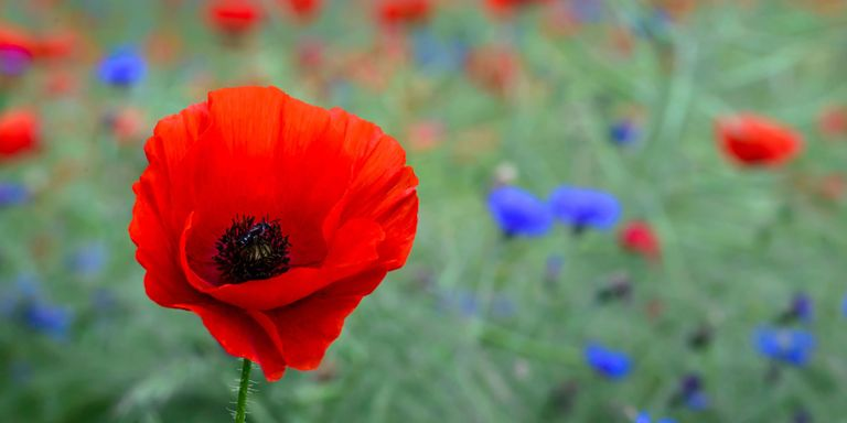 Poppy flower symbolism of red poppies theres a surprising history behind the red poppy you saw this memorial day mightylinksfo Image collections