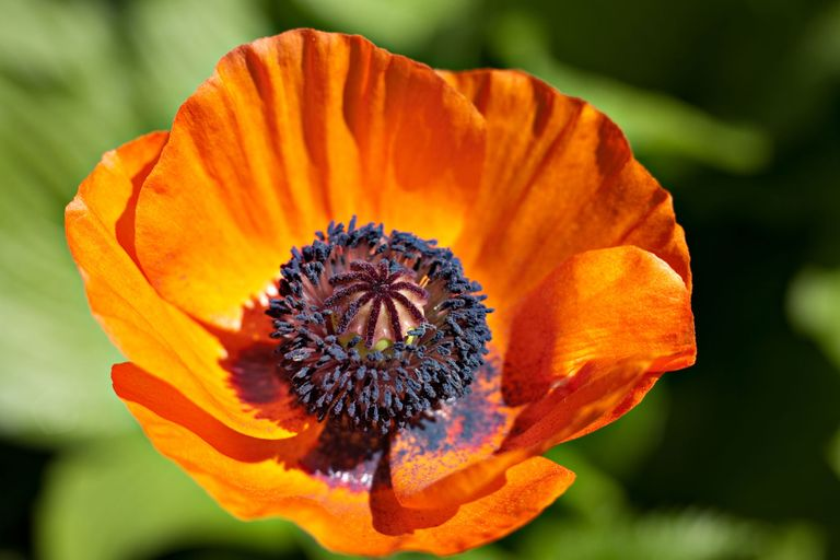Poppy flower symbolism of red poppies mightylinksfo Gallery