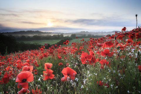 Poppy flower symbolism of red poppies image mightylinksfo