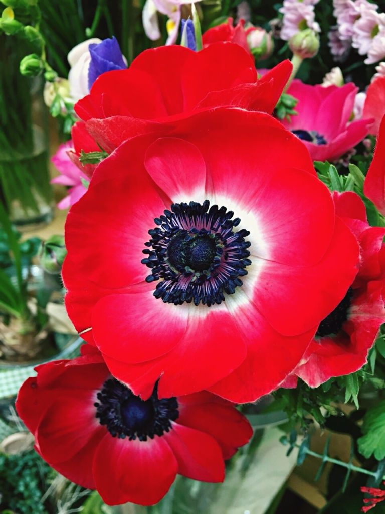 Poppy flower symbolism of red poppies mightylinksfo Choice Image