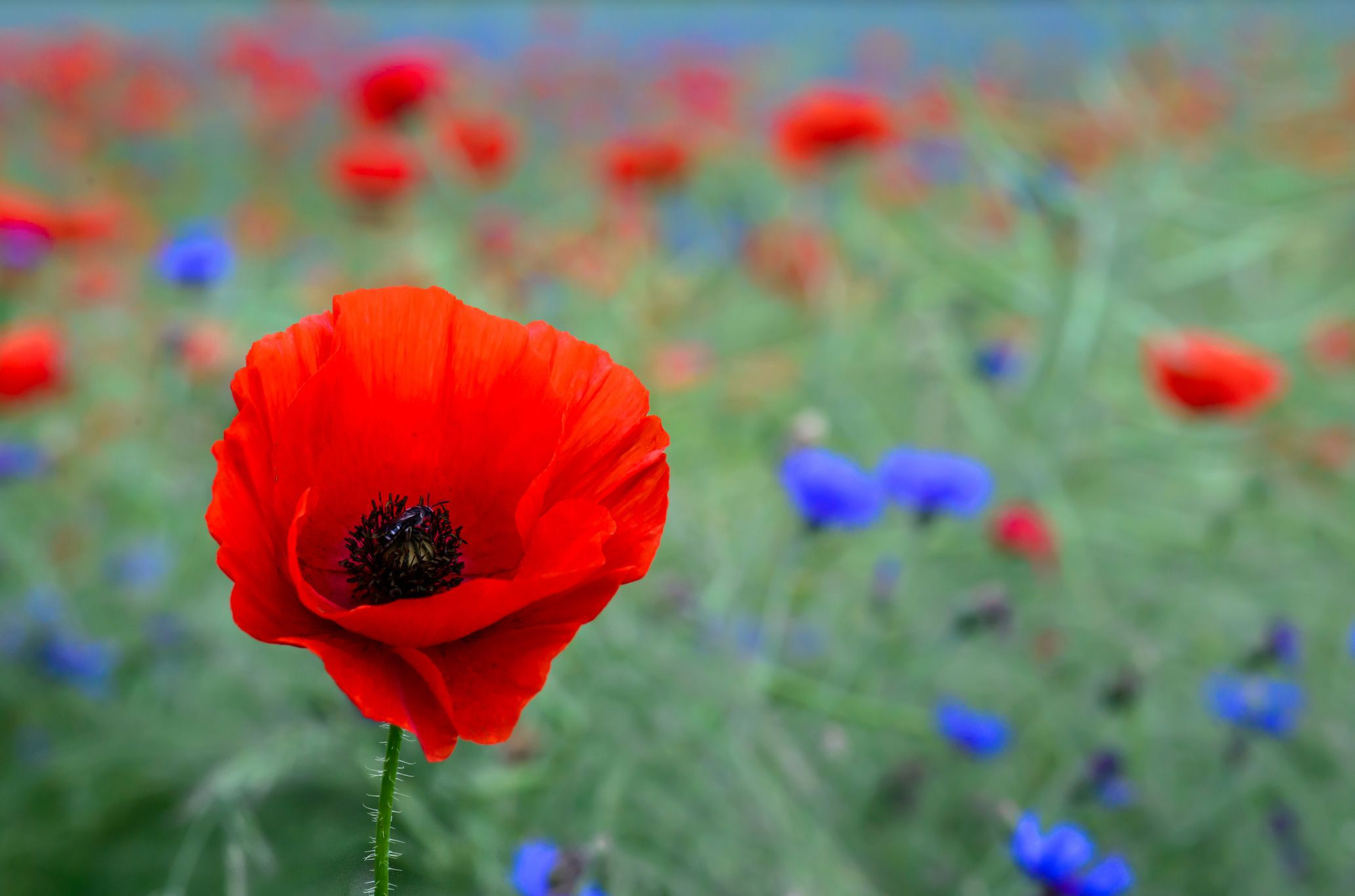 Poppy Flower Symbolism Of Red Poppies