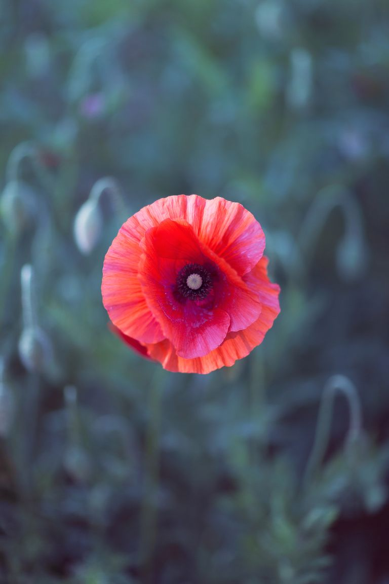 Poppy Flower Symbolism Choice Image Flower Decoration Ideas