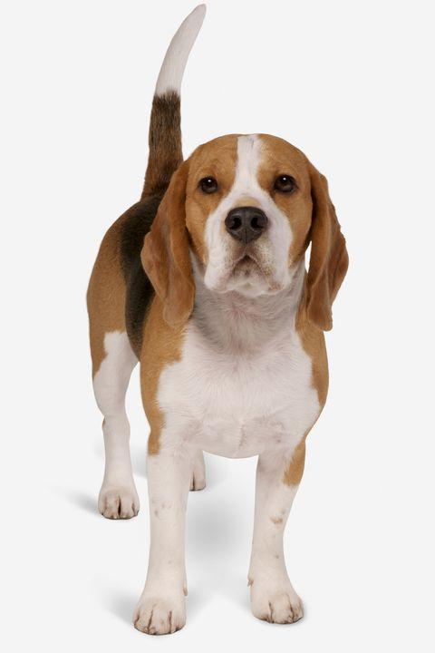 Brown, Vertebrate, Dog, Carnivore, Dog breed, Scent hound, Fawn, Liver, Hound, Beagle,