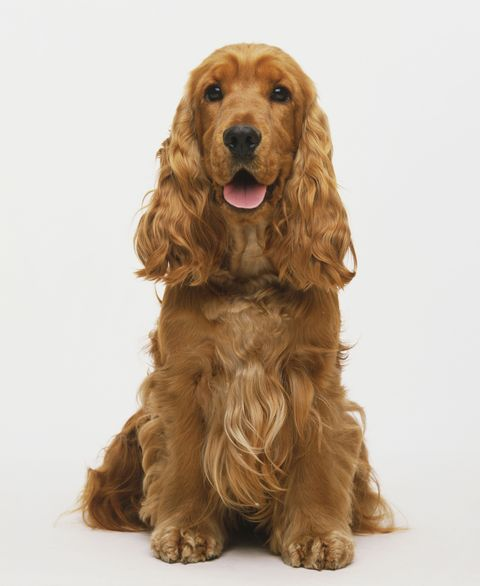 Brown, Dog breed, Skin, Dog, Vertebrate, Carnivore, Sporting Group, Snout, Spaniel, Tan,