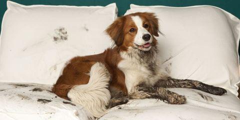 Brown, Dog breed, Dog, Vertebrate, Carnivore, Sporting Group, Comfort, Liver, Fur, Fawn,