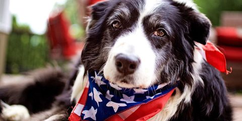 Dog breed, Dog, Carnivore, Snout, Collar, Sporting Group, Border collie, Companion dog, Fur, Working animal,