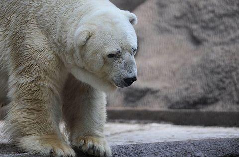 Daytime, Polar bear, Organism, Vertebrate, Carnivore, Bear, Facial expression, Terrestrial animal, Adaptation, Snout,