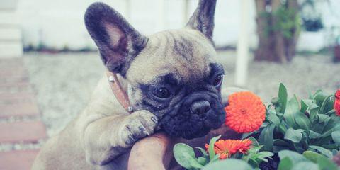 Skin, Dog, Carnivore, Mammal, Snout, Toy dog, Dog breed, Fawn, Working animal, Pug,