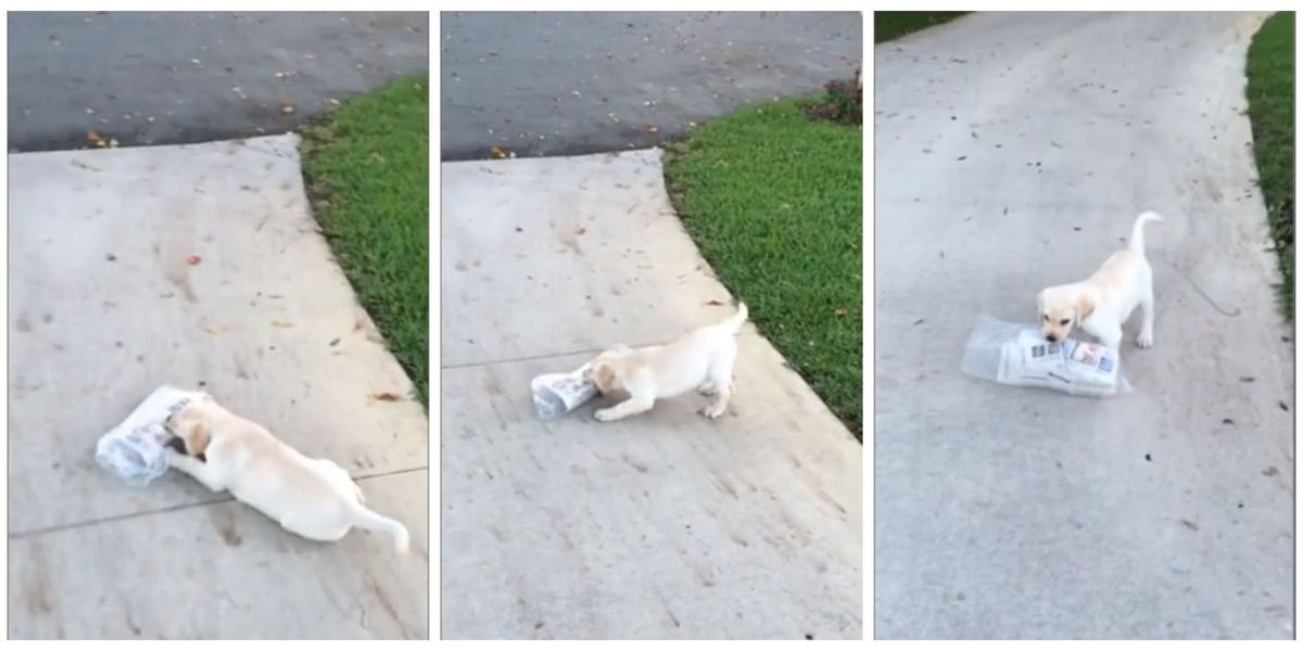 Watch This Tiny Puppy's Adorable Struggle to Fetch the Morning Newspaper