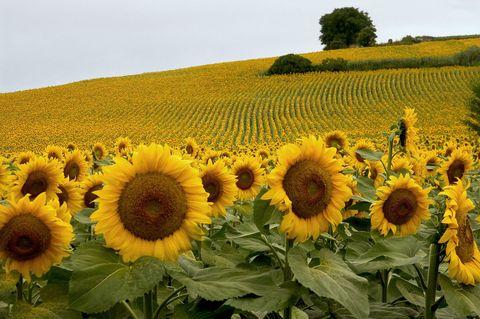 Sunflower, Yellow, Agriculture, Plant, Flower, Field, Plantation, Petal, Farm, Rural area,