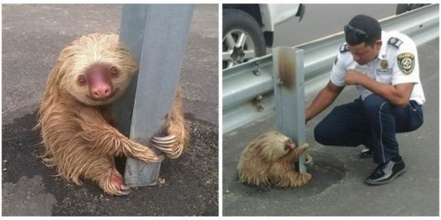 Adorable Sloth Gets Stuck Crossing Highway, Waits Patiently to Be Rescued