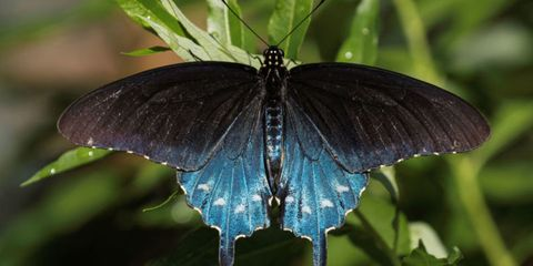 Nature, Blue, Invertebrate, Organism, Arthropod, Insect, Butterfly, Pollinator, Wing, Leaf,