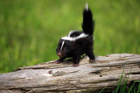 Wood, Daytime, Natural environment, Adaptation, Terrestrial animal, Black, Tail, Fur, Wildlife, Snout,