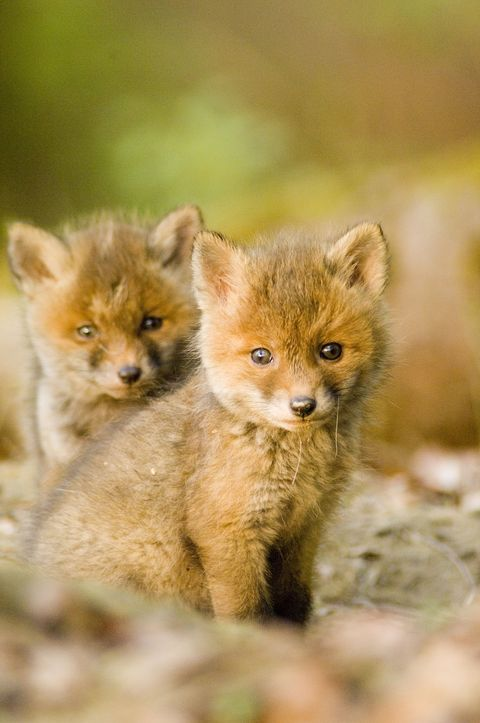 Skin, Organism, Carnivore, Terrestrial animal, Snout, Wildlife, Fawn, Fur, Canidae, Blond,