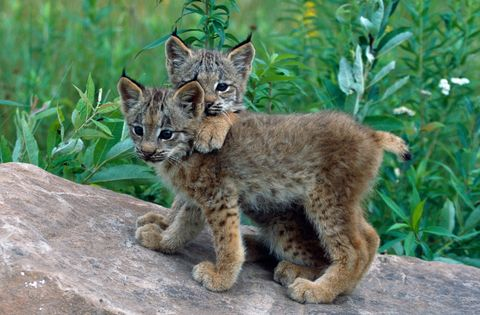 Organism, Vertebrate, Mammal, Carnivore, Facial expression, Terrestrial animal, Whiskers, Lynx, Snout, Wildlife,