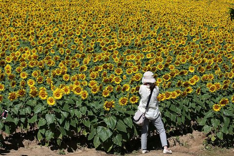 Yellow, Agriculture, Plant, Sunflower, Flower, Field, People in nature, Plantation, Farm, Petal,