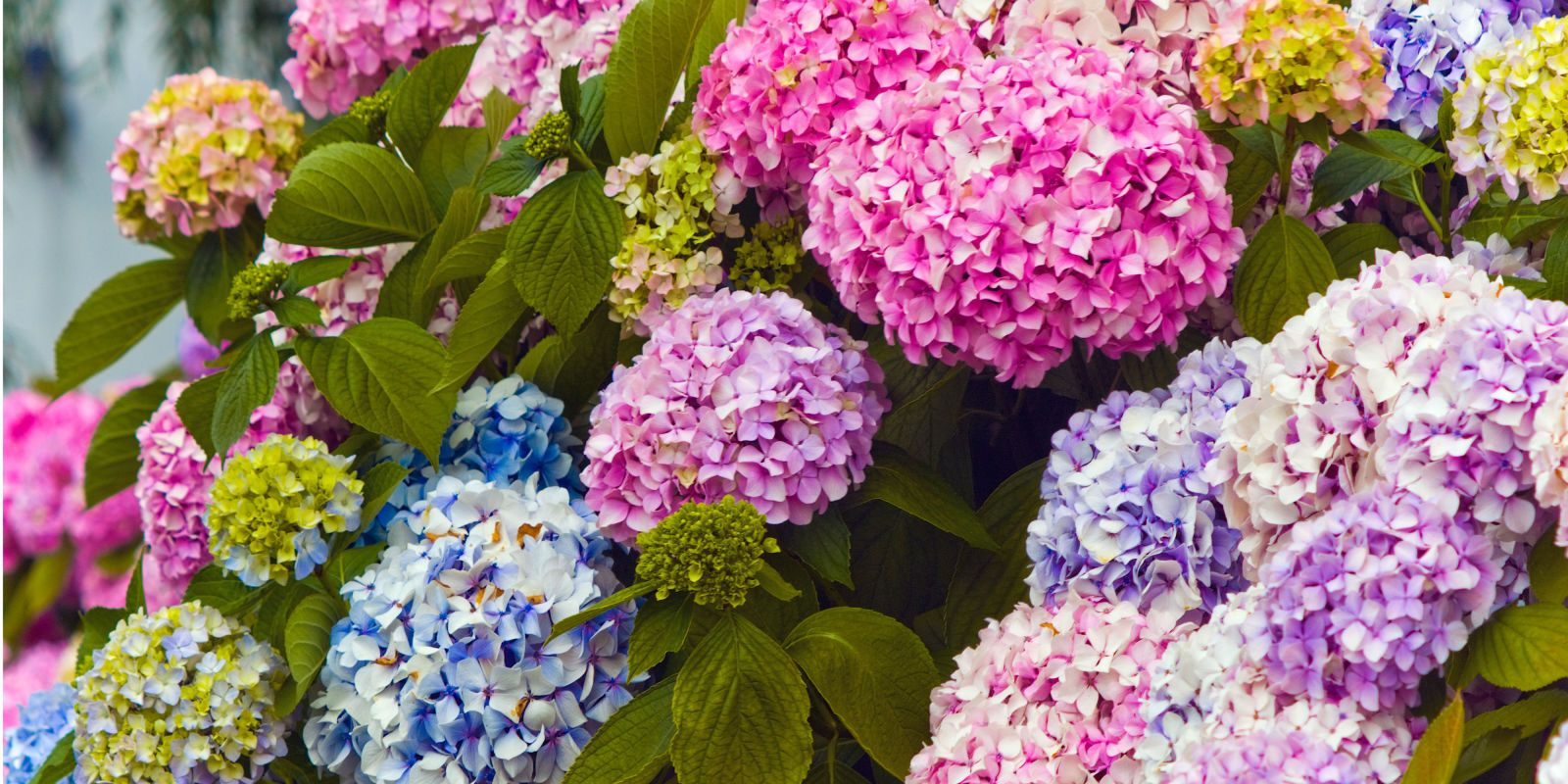 How to Change the Color of Your Hydrangeas and Keep Them Looking Gorgeous