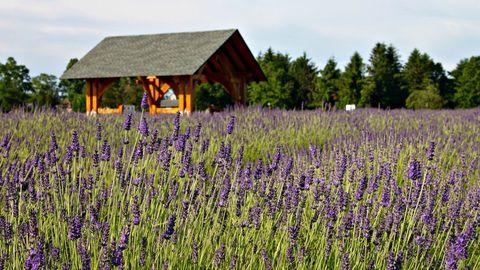 Lavender Farms In America - Lavender Farm Photos