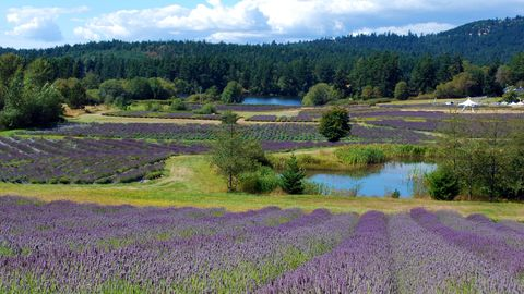 Lavender Farms In America - Lavender Farm Photos