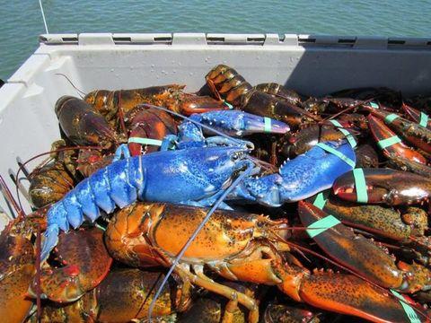 Arthropod, Blue, Decapoda, Ingredient, Crustacean, Electric blue, Cobalt blue, Invertebrate, Lobster, Shellfish,
