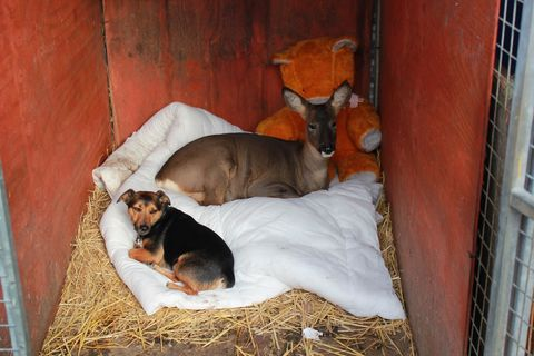 Dog breed, Dog, Carnivore, Dog supply, Liver, Snout, Companion dog, Sporting Group, Terrestrial animal, Fawn,