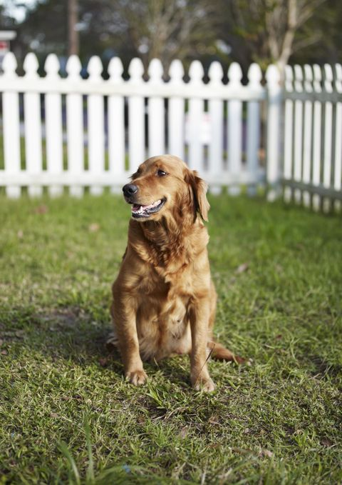 Dog breed, Grass, Dog, Carnivore, Mammal, Sporting Group, Home fencing, Snout, Picket fence, Retriever,