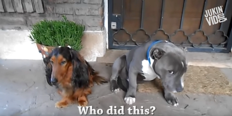 Guilty Dog Feels Extra Terrible About Eating His Owner's Shoes