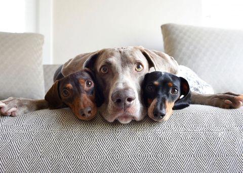 Dog breed, Dog, Comfort, Vertebrate, Carnivore, Linens, Snout, Liver, Sporting Group, Companion dog,